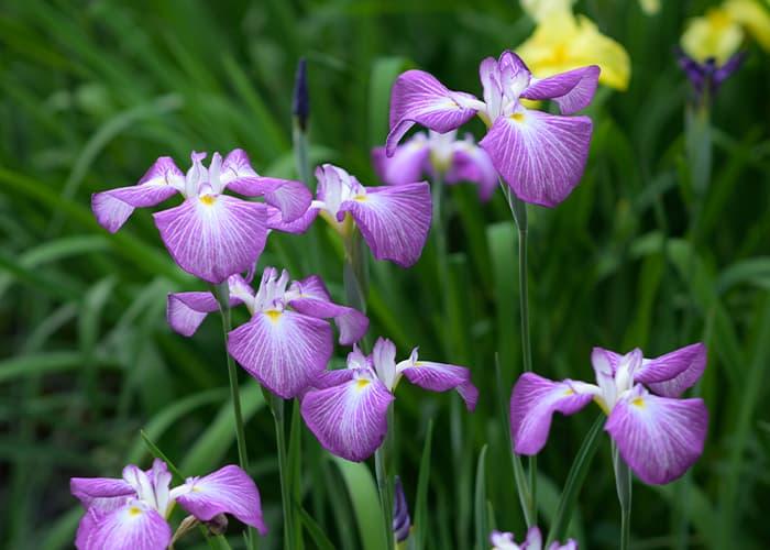 ショウブ紫
